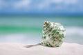 tropical sea  shell on white Florida beach sand Royalty Free Stock Photo