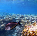 Tropical Sohal Surgeonfish in the Red Sea , Egypt Royalty Free Stock Photo