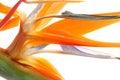 Tropical Strelitzia Stock Photography