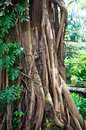 Tropical tree with roots Stock Image