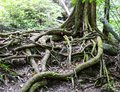 Tropical tree roots in the wild Stock Photography