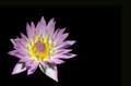 Tropical water lily isolated on black nymphaea nymphaeaceae pink platter Royalty Free Stock Images