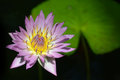 Tropical water lily and lily pad nymphaea nymphaeaceae pink platter Stock Photo