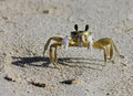 A Tropical Yellow Caribbean Crab