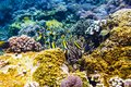 Tropical yellow fish and corals on reef in Indian ocean. Royalty Free Stock Photo