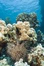 Tropisch koraalrif met kroon-van-Doornen zeester. Royalty-vrije Stock Afbeeldingen