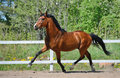 Troting bay purebred horse on manege Royalty Free Stock Photos