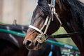 Trotter head closeup on championship the Royalty Free Stock Photography