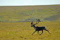 Trotting Bull Caribou Royalty Free Stock Photo