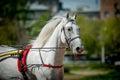 Trotting orlov russian horse in hippodrome portrait closeup the Royalty Free Stock Image
