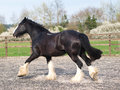 Trotting shire horse a trots loose in a paddock Royalty Free Stock Photo