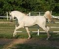 Trotting Stallion Royalty Free Stock Photo