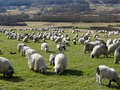 Troupeau de sheeps Images libres de droits