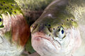 Trout Fish Close Up Royalty Free Stock Photo