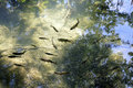 Trout fish in limpid water seen from above reflection of green trees and blue sky seen on the surface Stock Images