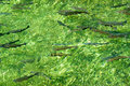 Trout Swimming Up Stream Royalty Free Stock Photo
