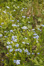 True forget me not meadow Stock Photography