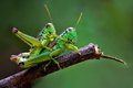 True love of grasshoppers Stock Photography