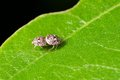 True tiny bugs mating Royalty Free Stock Images