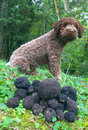 Truffles and dog Royalty Free Stock Photography