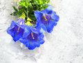 The Trumpet Gentian. Royalty Free Stock Photo