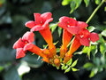 Trumpet vine flowers. Royalty Free Stock Images
