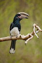 Trumpeter hornbill, Bycanistes bucinator, bird with big bill, common resident of the tropical evergreen forests of Burundi, Mozamb Royalty Free Stock Photo