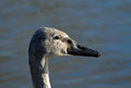 Trumpeter swan cygnet head shot of in winter sunlight Royalty Free Stock Image