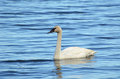 Trumpeter Swan (Cygnus buccinator) Royalty Free Stock Photo
