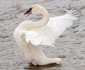 Trumpeter Swan (Cygnus buccinator) Wing Flap Stock Images
