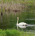 Trumpeter swan enjoying a swim Stock Photo