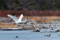 Trumpeter swan in flight over a prairie lake Stock Images