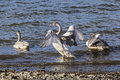 Trumpeter Swan juvenile Stock Images