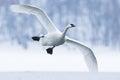 Trumpeter swan landing on water Royalty Free Stock Photo