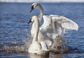 Trumpeter Swans Stock Photo