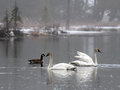 Trumpeter swans these and geese are ready for the lake to thaw Royalty Free Stock Image