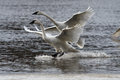 Trumpeter swans landing swan pair in unison on water Stock Photo