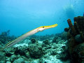 Trumpetfish Royalty Free Stock Photos