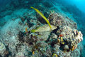 Trumpetfish from the reefs of the mabul ocean sipadan malaysia Royalty Free Stock Image