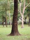 Large Trunk Big tree Bark rough texture Royalty Free Stock Photo