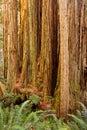 Trunk of California redwood tree among ferns Royalty Free Stock Photo