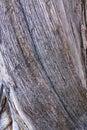 Trunk the close up of of oriental arborvitae scientific name platycladus orientalis Stock Photos