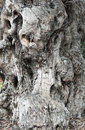 Trunk old olive tree Royalty Free Stock Photo
