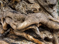 Trunk of an old olive tree Royalty Free Stock Photo