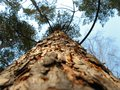 The trunk of pine. View from below.Tops of trees from ground view
