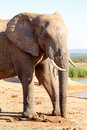 Trunk Time - African Bush Elephant
