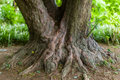 Trunk a very big and knobby tree in a park Royalty Free Stock Photos
