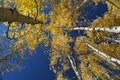 The trunks of aspen trees point skyward white in this vertical photo yellow fall leaves shine against a clear blue sky Royalty Free Stock Photography