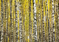 Trunks birch trees in autumn october Stock Images