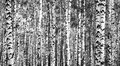 Trunks birch trees black and white in summer Royalty Free Stock Photo